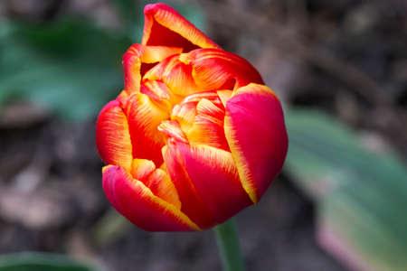 Beautiful magnificent red tulip.