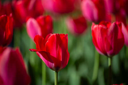 Beautiful spring flowers. Many red tulips