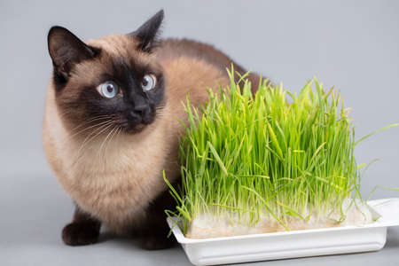 Cat with green grass on a gray background. Cute siamese cat.