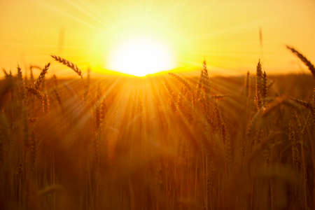 Ears of bread at sunset. Wheat field in the sun. Beautiful nature landscape. Rich harvest concept Stock Photo