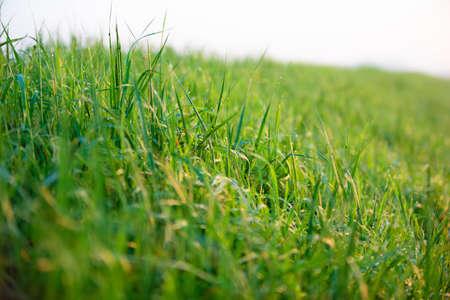 Green grass with morning dew Фото со стока