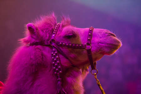 Muzzle of a camel close up under purple light