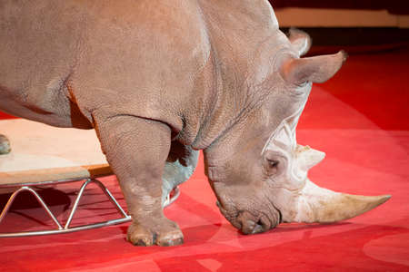 Rhinoceros trained in the circus. The animal executes the number