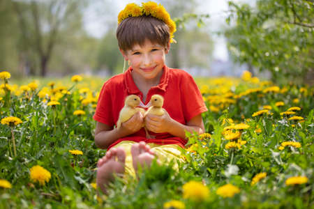 Beautiful child in nature with ducklings. A boy in the meadow with dandelions is holding domestic chicks.