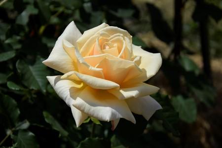 Beige rose in the garden Zdjęcie Seryjne