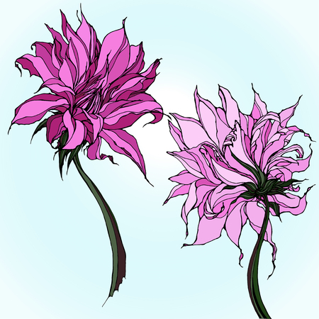 Two pink dahlias isolated on light blue background Vettoriali