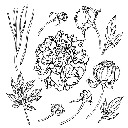 Set of vector black and white linear elements of peony flowers and leaves. Isolated elements on white for floral summer design.