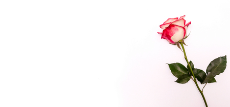 Pink Rose on a White Background. Concept International Woman Day 8 March, Valentines Day, Greeting Card, Declaration of Love. Flat Lay. Copy Space For Your Text