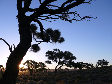 Australia. Near Adelaide. The bent dry tree on background blue sky.  photo
