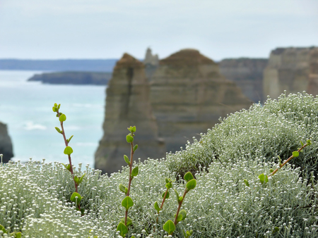 escapes: The flowers (the lichen and green escapes) on background Twelve Apostles. Australia, Victoria, Great Ocean Road.