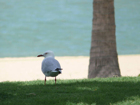 Australia. Queensland, Townswille. Great Barrier Reef. Close-up sea gull on background of the ocean. photo