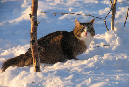 sneaks: Fluffy cat sneaking through the snow. Stock Photo