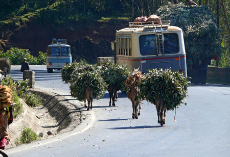 ADDIS ABABA, ETHIOPIA - NOVEMBER 25, 2008: Road surrounded by trees. Two buses traveling on the road. Laden with baggage animals are on the road. Unknown man walking along the road. Stock Photo - 27171515