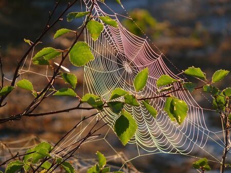 northern nature: Cobwebs on the branch. The landscape of the Northern nature. Stock Photo