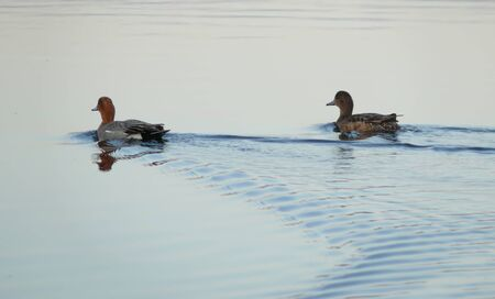 northern nature: Two ducks floated down the river. The landscape of the Northern nature.