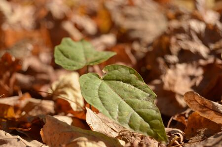 green sprout in autumn leaves close-up horizontal orientation