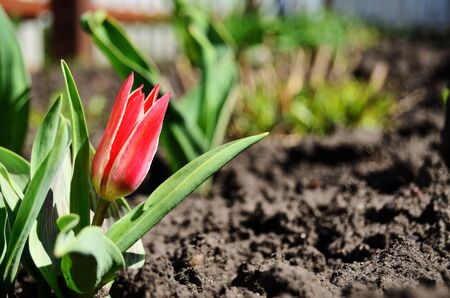 red tulip in flowerbed against the background of the ground in the bright sun with copy space