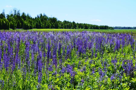 landscape field of blooming blue purple flowers against the background of the green forest going into the distance horizontal orientation Stok Fotoğraf