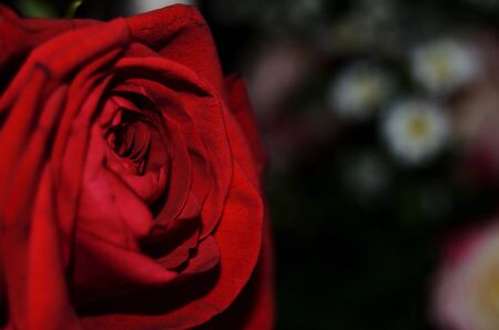 red rose in a bouquet of flowers close-up on a black background horizontal orientation