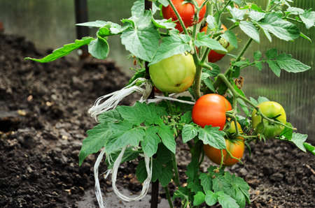 tomato bush with ripe red and green tomatoes grows in the greenhouse, countryside, auxiliary farm, grow fresh vegetables for his family