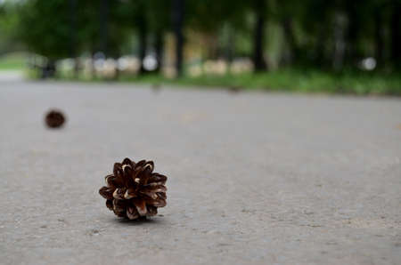 pine cone lies on the path in the park where people walk, treadmill in the woods, rest in nature, walk with family, Archivio Fotografico