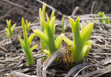grown up: Grown up sprouts of iris in spring