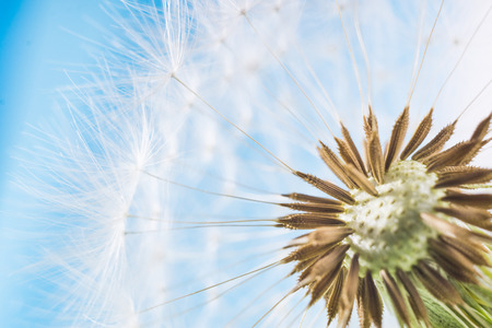 blowball: Dandelion with seeds abstract blue background. White blowball over blue sky. Shallow depth of field. Stock Photo