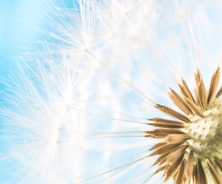 blowball: Dandelion abstract blue background. White blowball over blue sky. Shallow depth of field. Stock Photo