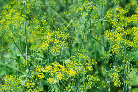 Green dill with yellow flowers in summer background