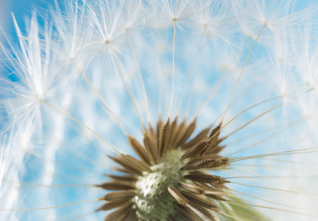 blowball: Dandelion abstract blurred background. White blowball over blue sky. Shallow depth of field.