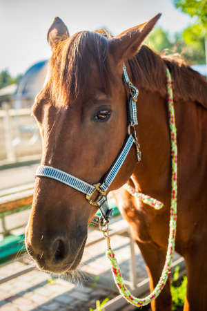 beautiful brown horse with a team at the ranch. hippodrome preparing for the race. a magnificent animal in the sun. the concept of sports, love the animal world.