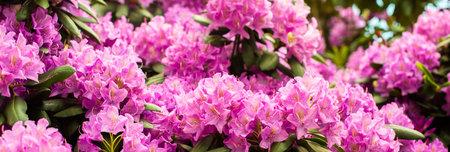 Beautiful blooming pink Azalea - flowering shrubs in the genus Rhododendron. Pink, summer flower background. gardening