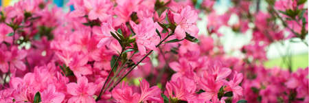 delicate pink summer background. flowering bush, many flowers and buds. spring bloom. selective focus Stockfoto