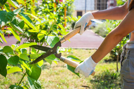 pruning trees in the garden with pruning shears. hands with gloves, gardening.