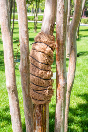 Young ornamental tree trunk wrapped with a spunbond bandage to protect it from frost and sunscald in the autumn garden.
