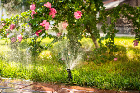 Automatic sprinklers for watering grass. the lawn is watered in summer. convenient for home. Alcea rosea