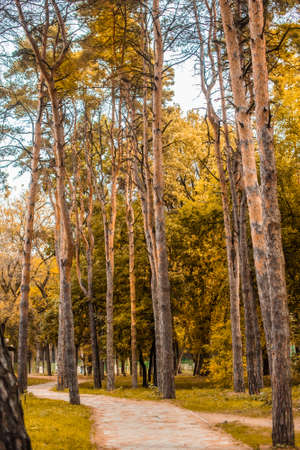 path in the autumn park. conifers, pine. orange leaves, crowns, branches. fall in the park