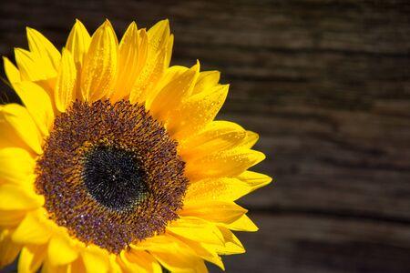 single fresh sunflower on wooden board whit copy space