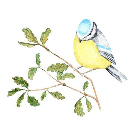Watercolor Bird BlueTit sitting on the Branch, isolated on white background. Tomtit bird watercolor illustration. Autumn - winter bird