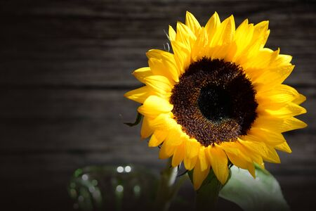 Beautiful single fresh yellow sunflower on dark wooden board whit copy space