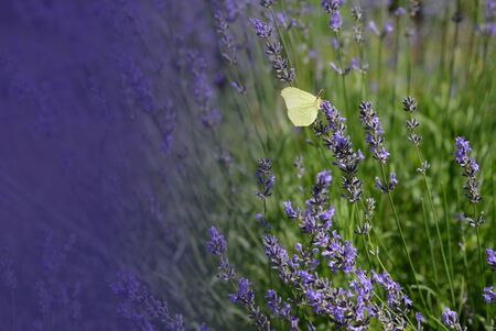 Lavender flowers with yellow butterfly in a soft focus, pastel colors and blur background. Violet lavande field in Provence with place for text on the left corner.