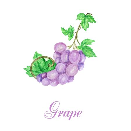 Hand drawn watercolor grapes bunch composition, delicious green and blue purple fruits isolated on white background. Food realistic illustration with text.