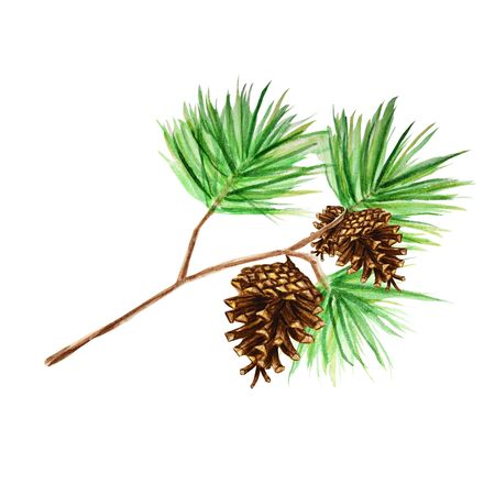 Collection of pine branches and cones, needles on white background, watercolor hand draw, decorative botanical illustration for design, Christmas card concept Banco de Imagens