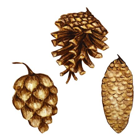 Watercolor pine cone set. Hand drawn Forest bump Nature sketches. Illustration concept for Christmas invitations, greeting cards, and other printing projects.