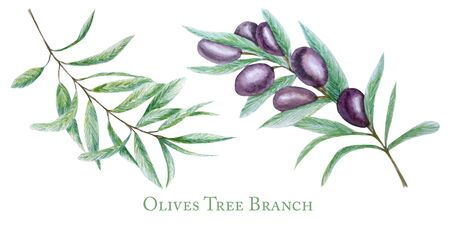 Watercolor black olive tree branch leaves fruits set, Realistic olives botanical illustration isolated on white background, Hand painted, fresh ripe cherries collection for label, card design concept