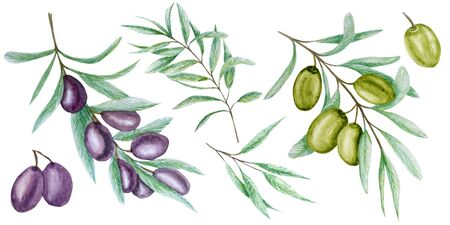 Watercolor green and black olive tree branch leaves fruits set, Realistic olives botanical illustration isolated on white background, Hand painted, fresh collection for label, card design concept