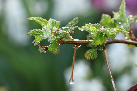The first sprouts of raspberry in the spring with drops on the bokeh background, morning dew and freshness in the garden in the early morning, the birth of a new life, the leaves in the rays of the dawn sun