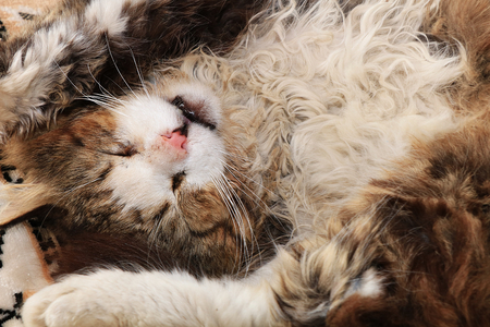 Close-up of a sleeping cat, a cat has found its home and is happy rescue animals from the street. Cozy house with pets Stock Photo