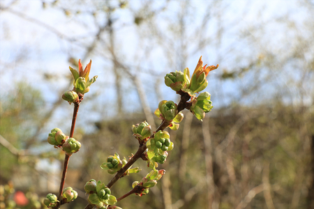 De eerste spruiten van kweepeer in de lente met druppels op de bokeh-achtergrond, ochtenddauw en frisheid in de tuin in de vroege ochtend, de geboorte van een nieuw leven, de bladeren in de stralen van de dageraadzon, de bloeiperiode Stockfoto