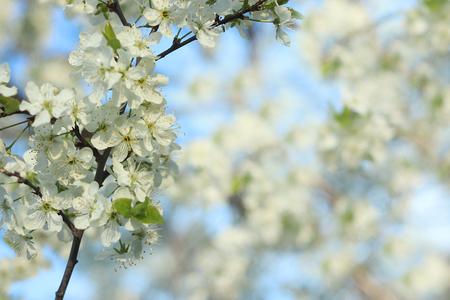Arbres en fleurs au printemps sur fond flou, mise au point sélective, beau jardin et bonne récolte en été. Branches de prunes dans le jardin de printemps avec effet de flou pour l'abstrait